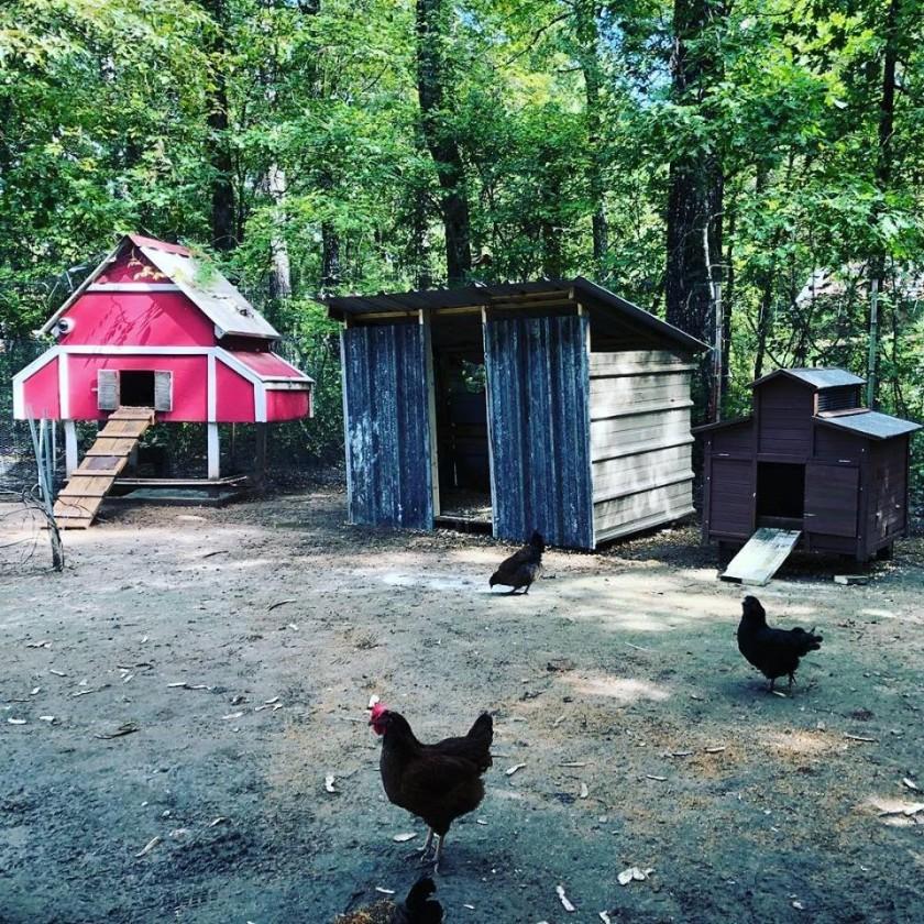 Chicken Hawk 5